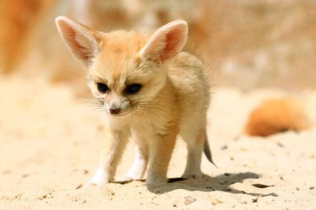 Image - Cutest fennec fox EVER!!!!!.jpg | Animal Jam Wiki ...