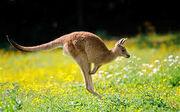 Kangaroo pic