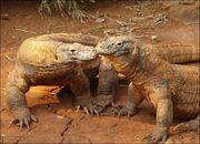 Komodo-dragon-picture