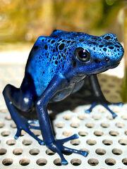 Blue dart frog 2