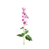 File:Chicory.png