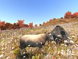 Whiteface Dartmoor Sheep