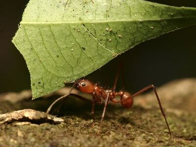 Leafcutter Ant Worker
