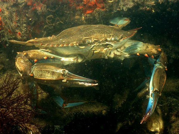 File:Blue Crab.jpg