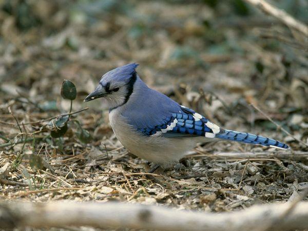 File:Blue Jay.jpg
