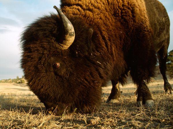 File:American Bison.jpg
