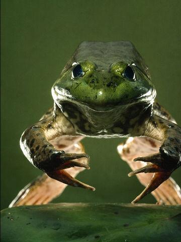 File:American Bullfrog.jpg