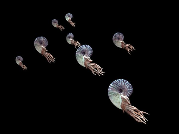 File:Ammonite.jpg