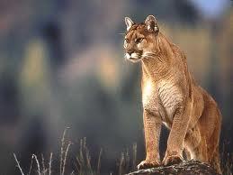 File:Cougar.jpg