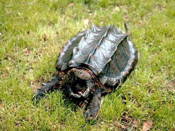 File:Alligator Snapping Turtle.jpg