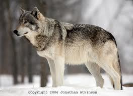 File:Grey Wolf.jpg
