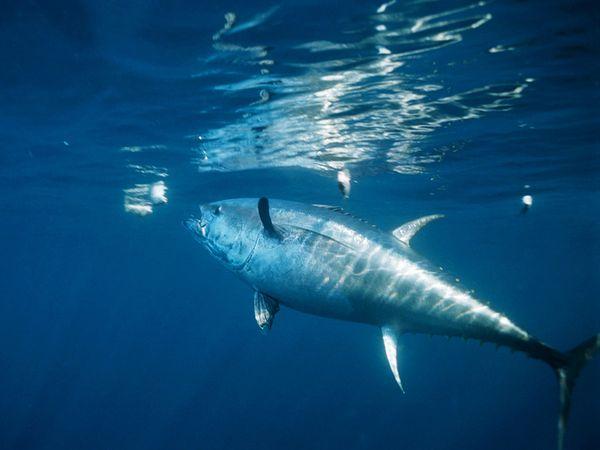 File:Atlantic Bluefin Tuna.jpg
