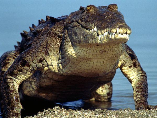 File:American Crocodile.jpg