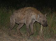 180px-Spotted hyena