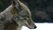 250px-Coyote portrait