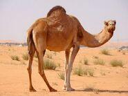 Camello7