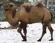 240px-Camel seitlich trabend