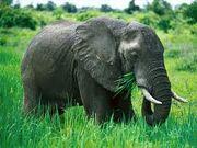 Images elefante comiendo