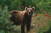800px-Kodiak Brown Bear