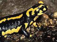 Images salamandra