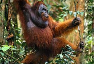 Orangutan-traveling-forest
