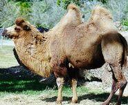 Camello2