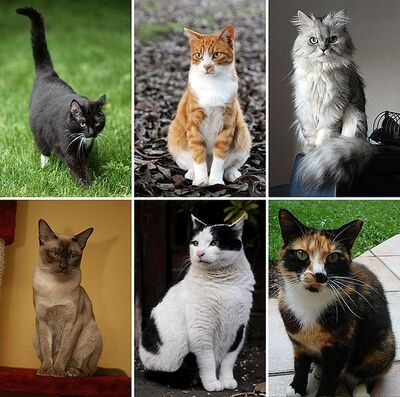 603px-Collage of Six Cats-02-1-