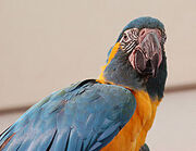 250px-Blue-throated Macaw Ara glaucogularis Head 2200px