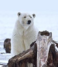 File:200px-Polar Bear ANWR 10.jpg
