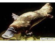250px-24855701-platypus