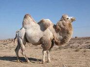 Camello5