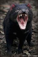 Demonio de Tasmania (1)
