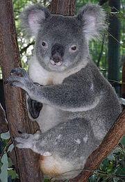 220px-Friendly Male Koala