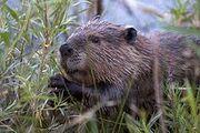 225px-Beaver-Szmurlo