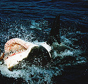File:180px-Great white shark at his back11.jpg