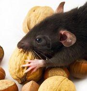 4591435-casa-rata-comiendo-frutos-secos