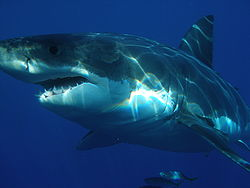 File:250px-Carcharodon carcharias.jpg
