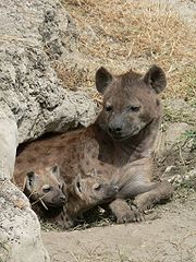180px-Spotted Hyena and young in Ngorogoro crater
