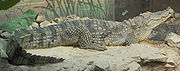File:180px-Nile Crocodile Side View 2620px.jpg