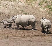 230px-Indian Rhinoceros