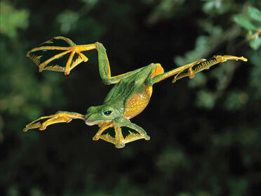 https://vignette.wikia.nocookie.net/animalplanetsthemostextreme/images/0/0a/Flying_Frog.jpg/revision/latest/scale-to-width-down/372?cb=20180710211914