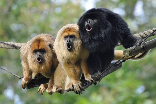 howler monkey animal planet s the most extreme wiki fandom