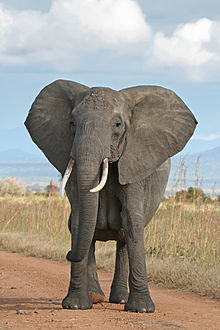 220px-African Bush Elephant