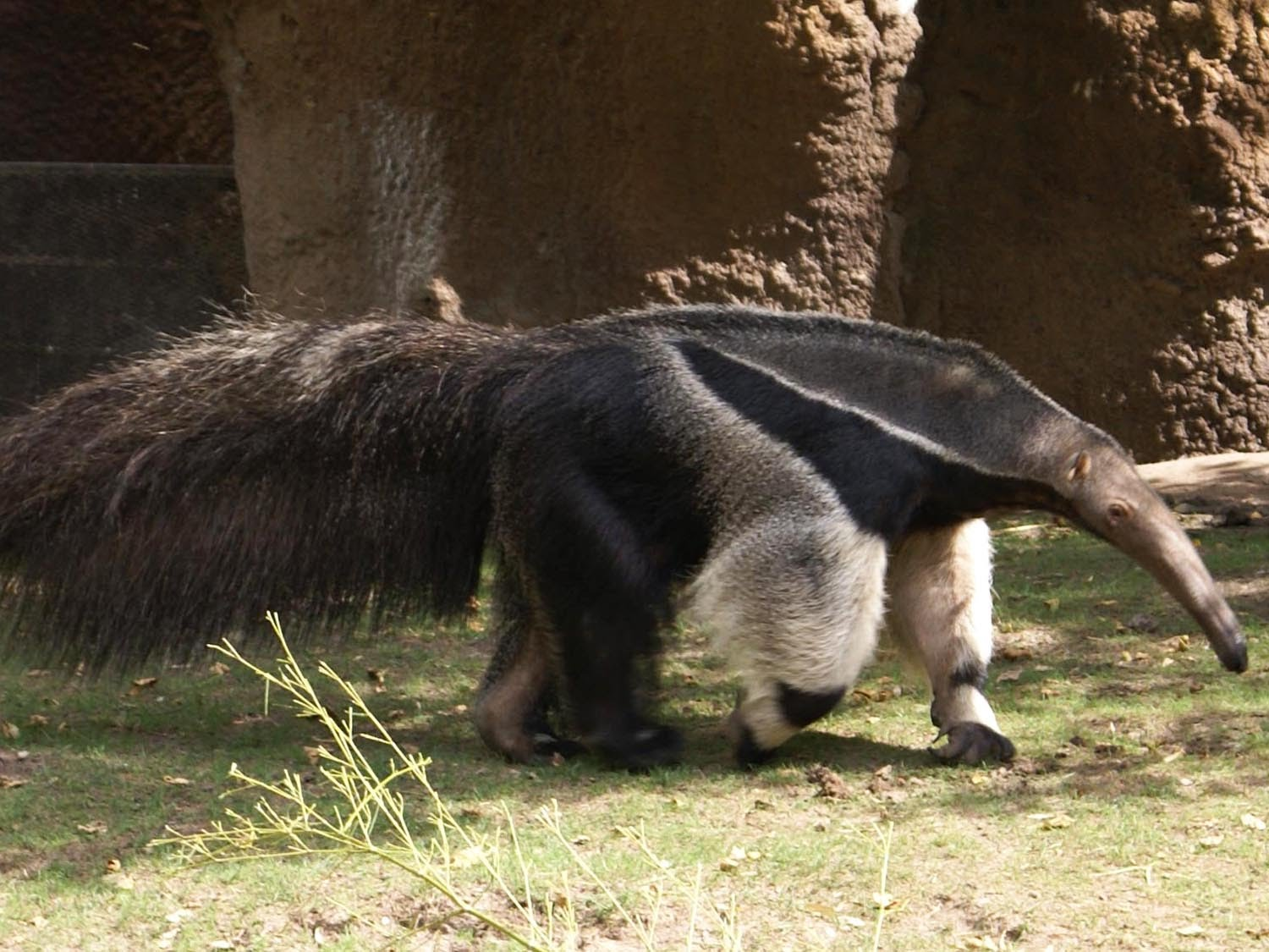 Giant Anteater | Animal Planet's The Most Extreme Wiki ...