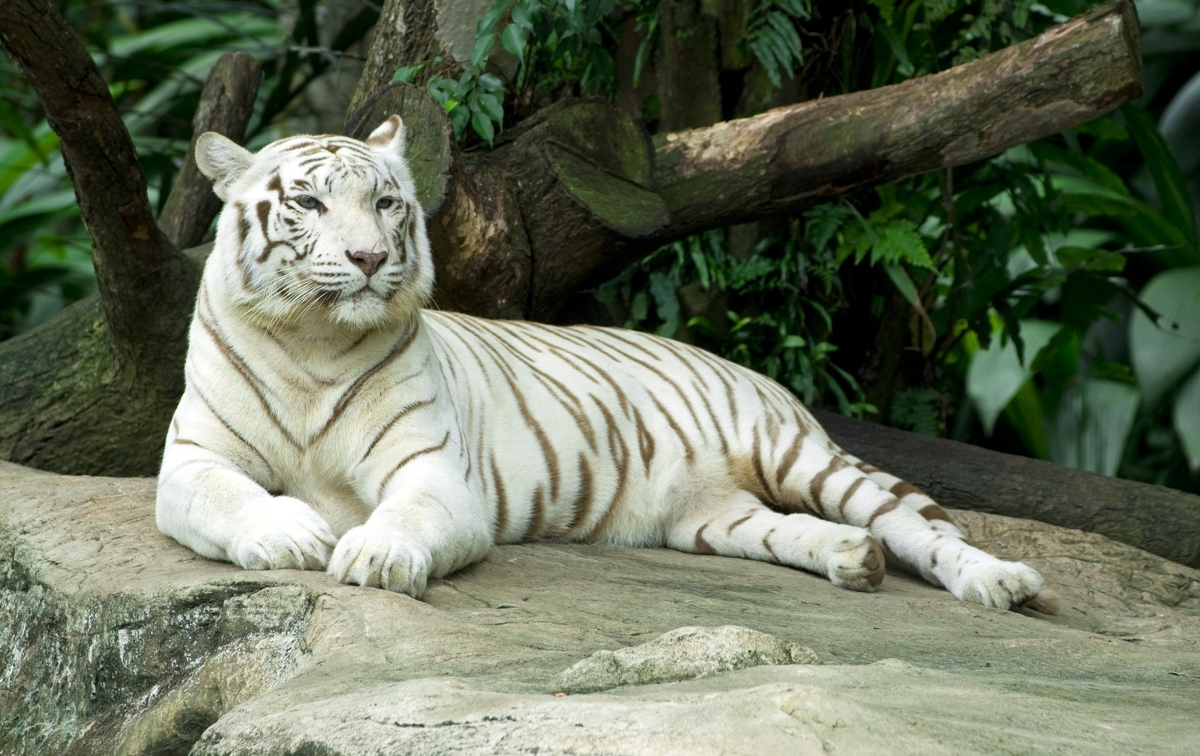 White Tiger | Animal Planet's The Most Extreme Wiki | FANDOM