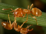 Lemon Ant