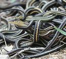 Red-Sided Garter Snake