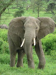 220px-Elephant near ndutu-1-
