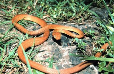 Brown tree snake Boiga irregularis USGS Photograph.sized-1-
