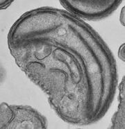 220px-Ostreococcus RCC143-1-